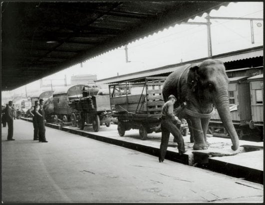 Wirths Circus arrives at platform 9, Spencer St. station in Melbourne, Australia. Alice the 102 year old elephant helps unload the trains, 1948.