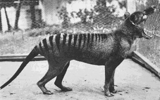 Benjamin, the last Tasmanian Tiger, at Beaumaris Zoo, 1933.