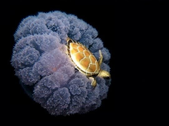 turtle on jellyfish