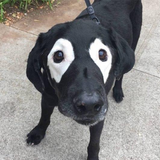 Labrador With Vitiligo photoshop