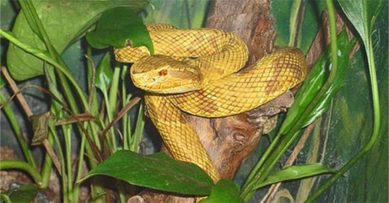 golden lancehead snake island